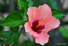 DSC_0080 (rachidH) Tags: flowers nature island blossom hellas greece hibiscus blooms kefalonia karavomylos rachidh