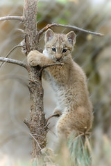 Canada Lynx Kitten Climbing (Eric Kilby) Tags: canada tree cute stone cat zoo kitten climbing aww lynx
