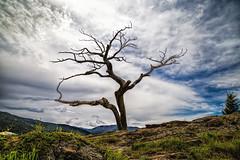 Adamant (JoLoLog) Tags: canada mountains tree clouds deadtree alberta rockymountains raya lorien canadianrockies burmistree canon6d highway3towardscrowsnestpass