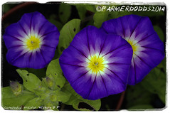 Convolvulus tricolor 'Mixture' (farmer dodds) Tags: mixture convolvulaceae convolvulus convolvulustricolor