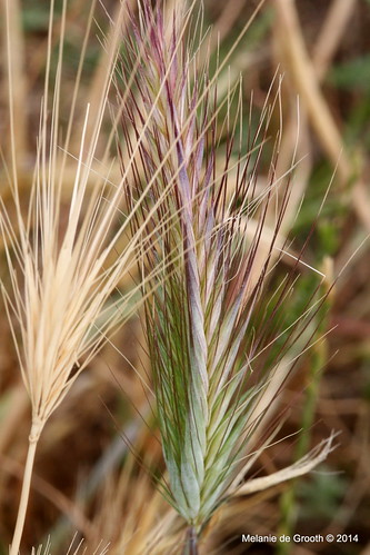 Purple Grass 2