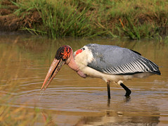 A spot of fishing! (Rainbirder) Tags: kenya marabou leptoptiloscrumeniferus maasaimara rainbirder