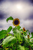 Ruvende (Birgit F) Tags: flowers grimstad dømmesmoen