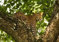 Leopard (sridhar_jb2005) Tags: nikon wildlife 300mm leopard f4 kabini d7100