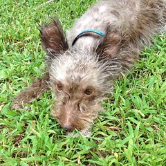 "Pete is fresh and clean and looking very handsome. We took him for a nice walk while he dried off. He strutted around, showing off his new haircut to every dog and owner we passed.  Now he's exhausted from all of today's excitement. It's hard work being t • <a style=""font-size:0.8em;"" href=""https://www.flickr.com/photos/54958436@N05/15169035316/"" target=""_blank"">View on Flickr</a>"
