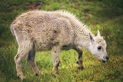 Little Scruff (West Leigh) Tags: baby nature washington northwest sweet peaceful goat naturalbeauty mountaingoat leavenworth enchantments canon7d