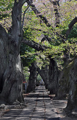 Shaded Path (Seeing Visions) Tags: trees cemetery graveyard japan cherry tokyo spring path bark jp trunk cherryblossoms yanaka 2014 yanakacemetery overarching raymondfujioka