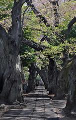 Shaded Path (Seeing Visions) Tags: trees cemetery graveyard japan cherry tokyo spring path bark jp trunk cherryblossoms yanaka 2014 yanakacemetery overarching raymondfujioka