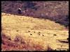 Cervi al galoppo nella Valle Giumentina - Majella - Abruzzo - Italy