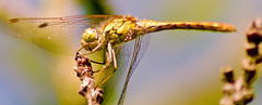 IMG_6006 (mrbuckley1986) Tags: detail macro green nature closeup canon insect lens eos aperture scenery close dragonfly wildlife tripod sigma insects scene iso pointofview handheld dslr habitat tamron viewpoint lenses shutterspeed macrophotography abugslife naturalhabitat avmode tvmode 700d canon700d canoneos700d