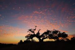 Sunset Tree (Don McCullough) Tags: california sunset tree silhouette clouds canon sonomacounty santarosa 5dmarkiii