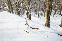 Beech forest, with deer track. (kramerich10) Tags: beuk bomenenstruiken natparkzuidkennemerland zoogdieren