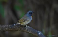 นกจับแมลงแถบคอสีส้ม / Rofous-gorgeted Flycatcher / Ficedula strophiata (bambusabird) Tags: animals birds flycatcher forest rainforest tropical chiangmai thailand