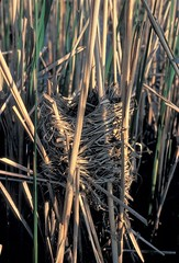 Yellow-headed Blackbird nest, Eggers Grove FP, Chicago, IL (5-19-79) (Walter Marcisz) Tags: birds icterids nests