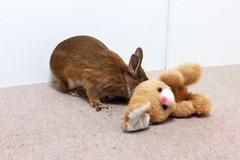 Ichigo san 635 (Ichigo Miyama) Tags: いちごさん。うさぎ rabbit bunny netherlanddwarf brown ichigo ネザーランドドワーフ ペット いちご うさぎ