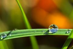 perle de pluie (Denis Vandewalle) Tags: drop goutte macro macrophotography nature bokeh pentaxk5 denisvandewalle tamron explore explored waterdrop