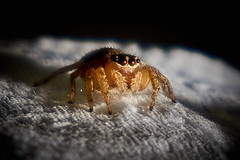 Jumping Spider (RobMacPhotography) Tags: canberra act australia jumping spider arachnid macro detail closeup black backround eyes eight legs hairy tiny sony a6000 rob mac photography fauna animal