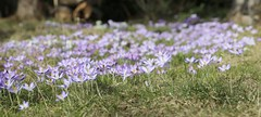 Vorfrühling (thmlamp) Tags: crocusvernus moments flower blüte flora canoneos5dmarkiii ef24105mmf4lisusm ƒ71 1050mm 1320sec asa100 vorfrühling