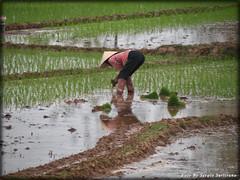 Vietnam # 2 (celestino2011) Tags: vietnam donna risaia lavoro riflesso travel daarklands