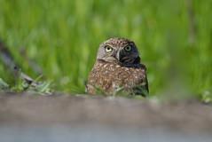 Burrowing Owl (Shijo and Pooja Photography) Tags: burrowingowl facetoface eyelevelshot california nikon wild raptor