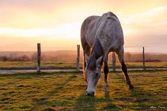 Fin de jour équidien (MarKus Fotos) Tags: cheval horse sunset gavot hautesavoie chablais rural campagne country france hiver winter