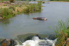 Dead Hippo in Sabie River ... (berniedup) Tags: deadhippo sabieriver lowersabie kruger hippo