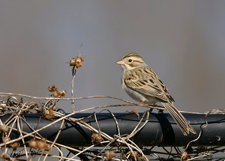 Clay colored Sparrow (rare)