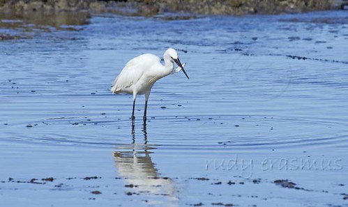 Little  Egret  with fish _2354