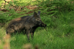 Wild boar sow (Sus scrofa) (Rob Ward (Bothrops)) Tags: nature pig wildlife piglet hog sow forestofdean wildboar susscrofa hoglet robinward