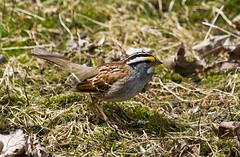 IMG_4356  White-throated Sparrow red (ashahmtl) Tags: canada bird claire backyard quebec under birdfeeder sparrow pointe zonotrichia whitethroated albicollis