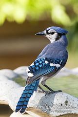 Blue Jay on Birdbath