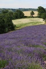 Campo di Lavanda(Sale S. Giovanni  ) (matteo gramaglia) Tags: paesaggi colline lavanda campidilavanda elicrisio altalangaprovinciadicuneo coltivazionibiodinamiche