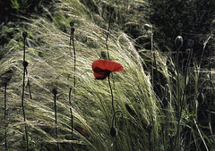 Red Poppy in Tall Grass (zuni48) Tags: nature grass urbannature poppy botanicalgarden redpoppy baltimoremaryland cylburnarboretum mexicanfeathergrass poppybuds nassellatenuissima zunikoff