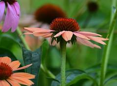 Flower Petals (Phyllis74) Tags: flower macro