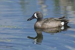 Blue-winged Teal (featherweight2009) Tags: birds edmonton ducks alberta waterfowl teals bluewingedteal dabblingducks anasdiscors