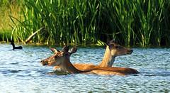 oi, we got strange ducks here tonight.... (paulinuk99999 (I'm back!!)) Tags: park red summer lake hot heron water swimming court pond wildlife royal july off surrey deer hampton cooling 2014 bushy deeer paulinuk99999 sal70400g