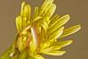 Groundsel Senecio vulgaris (2) (Ben Grader) Tags: england plant flower macro closeup leaf petals stem weed view sony picture somerset scene petal tamron stalk wessex groundsel seneciovulgaris dioptre dioptres slta77
