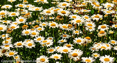 Flowers (Daisies) (Doctor Christopher) Tags: flowers nature daisies daisy