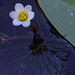 Cabomba caroliniana, flower  Indian Head Rail Trail, Charles co , MD  (81514)