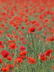 Le leadership ** (Titole) Tags: red rouge poppies coquelicots thechallengefactory titole nicolefaton