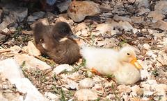 DSC_0171 (rachidH) Tags: sea lake birds geese mediterranean hellas ducks ducklings goose greece goslings waterfowl kefalonia canard oiseaux muscovy oie karavomylos rachidh melissany