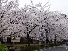 Kiyamachi Street (izunavi) Tags: japan kyoto    sakura cherryblossoms kiyamachi kyotocity   kyotoprefecture    kiyamachistreet shimogyoward  kiyomizugojostationarea