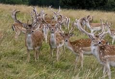 IMG_5489 (ajr1961) Tags: park canon deer national trust fallow dyrham 650d