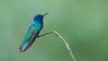 White-necked Jacobin (Raymond J Barlow) Tags: travel costarica hummingbird wildlife adventure workshop raymondbarlowtours