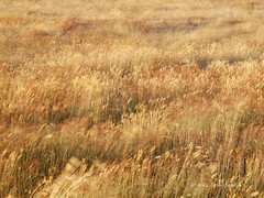 Blowing in the Wind (gahenty) Tags: grass windswept handheld f22 e5 afternoonlight goldenlight 115s victorianlandscape 1260mmswd