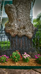 Tree growing over fence in front of house, Galveston (LarkCreekGrove) Tags: usa galveston building tree architecture town cafe tx structures architectural ironfence edifice edifices agriculturalbuilding treegrowingoverfence 1510rchurchstreet