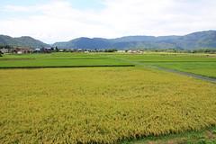 (  / Yorozuna) Tags: house plant japan countryside rice ricefield   shiga riceplant      takashima         earofrice