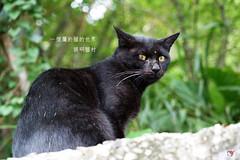 20140907_00583_猴硐貓村 (Redhat/小紅帽) Tags: cat redhat 貓 小紅帽 36mp a7r 猴硐 候硐 貓村 猴洞
