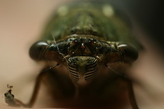 Cicada Portrait (FilmandFocusPhoto) Tags: portrait macro nature face canon cicada insect outdoors 50mm eyes sigma todayspic macrodreams