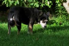 8/12 grazing (huckleberryblue) Tags: summer dog green grass mutt kaley 12monthsfordogs14